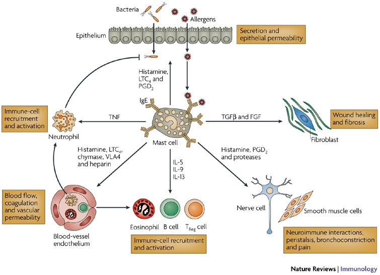 Physiological mast-cell functions include the regulation of epithelial functions (secretion and epithelial permeability), smoothmuscle functions (peristalsis and bronchoconstriction), endothelial