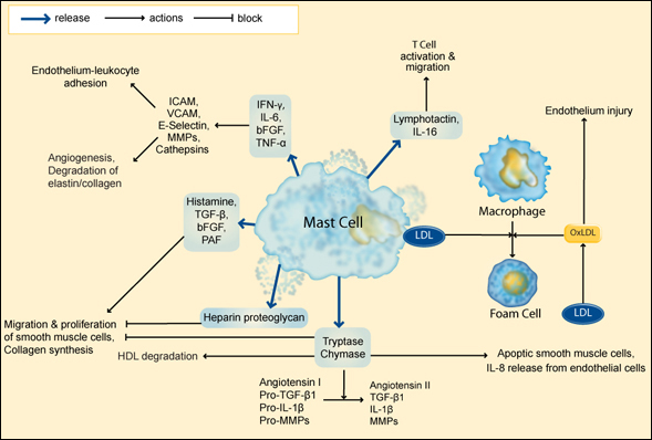 Participation of mast cells and