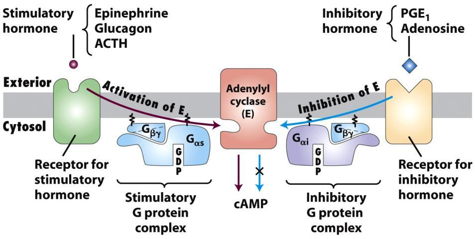 Adrenalin (glukagon)/camp útvonal Adrenalin + β-adrenerg receptor (glukagon + glukagon r.